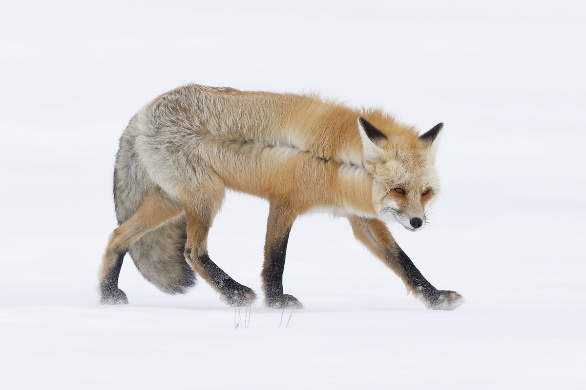 wildlife photography snow covered fox by johnblumenkamp