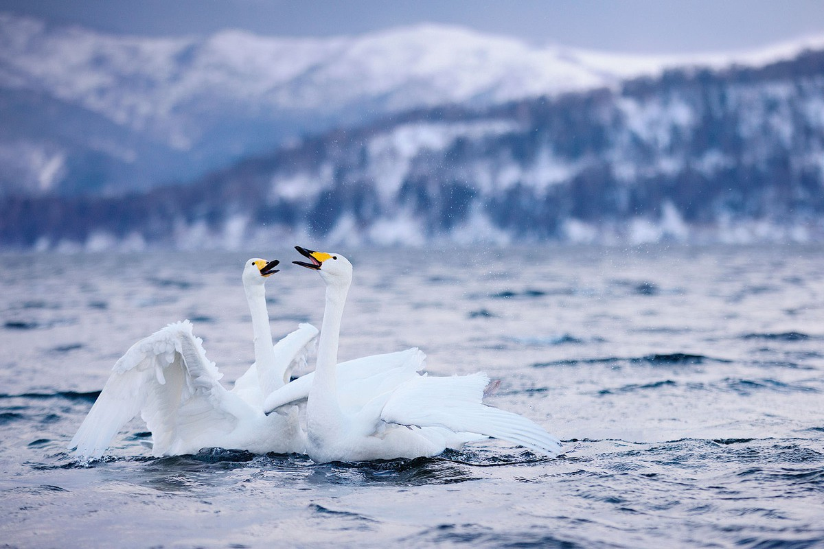 best wildlife photography award winner whooper swans