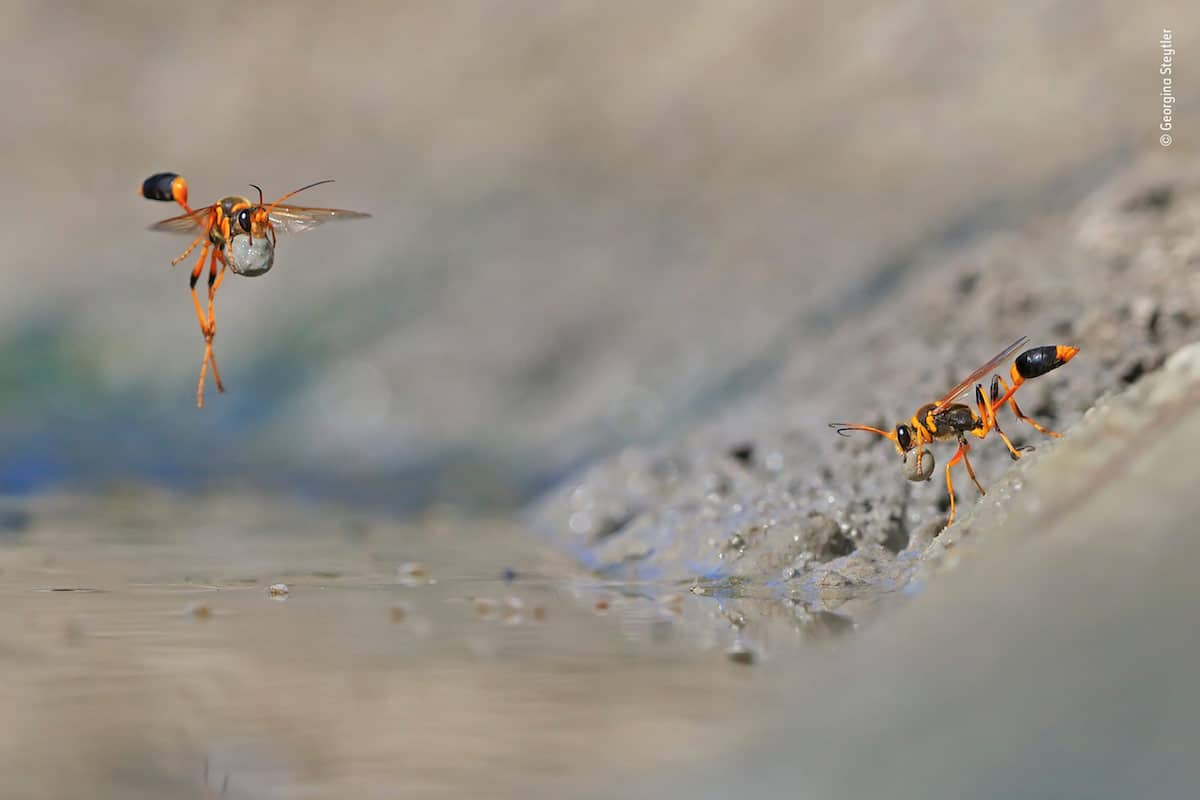 wildlife photography mud rolling mud dauber by georginasteytler