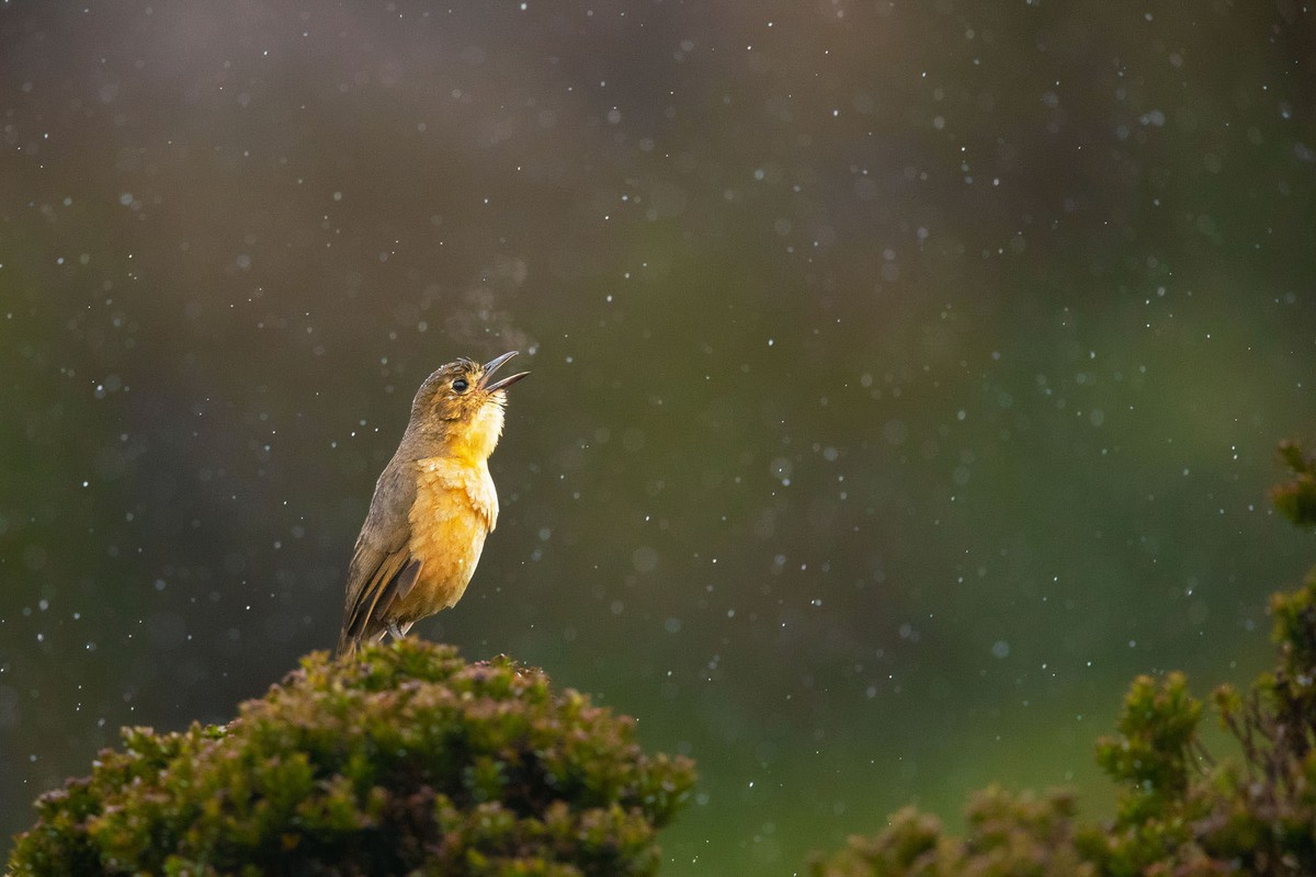 best wildlife photography award winner tawny antpitta