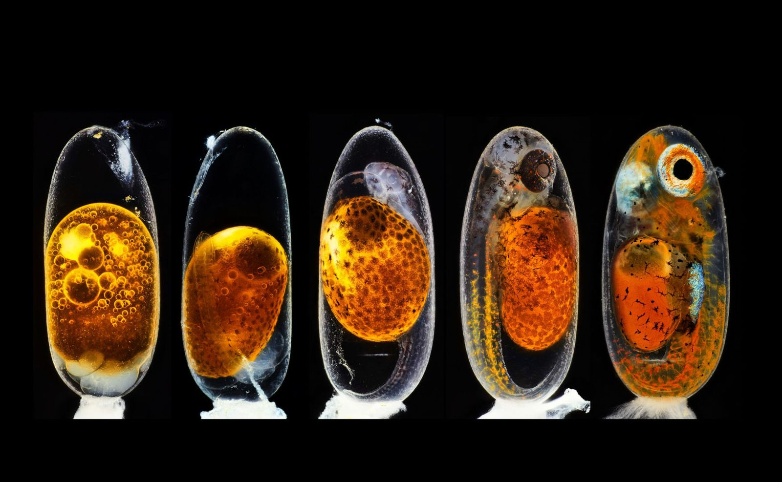 microscopic photos hidden developing clownfish photography