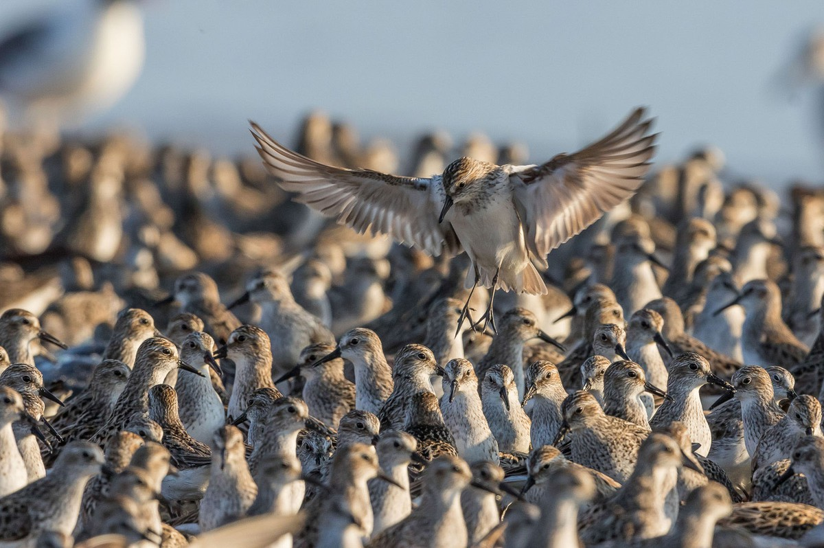 best wildlife photography award winner sandpipers