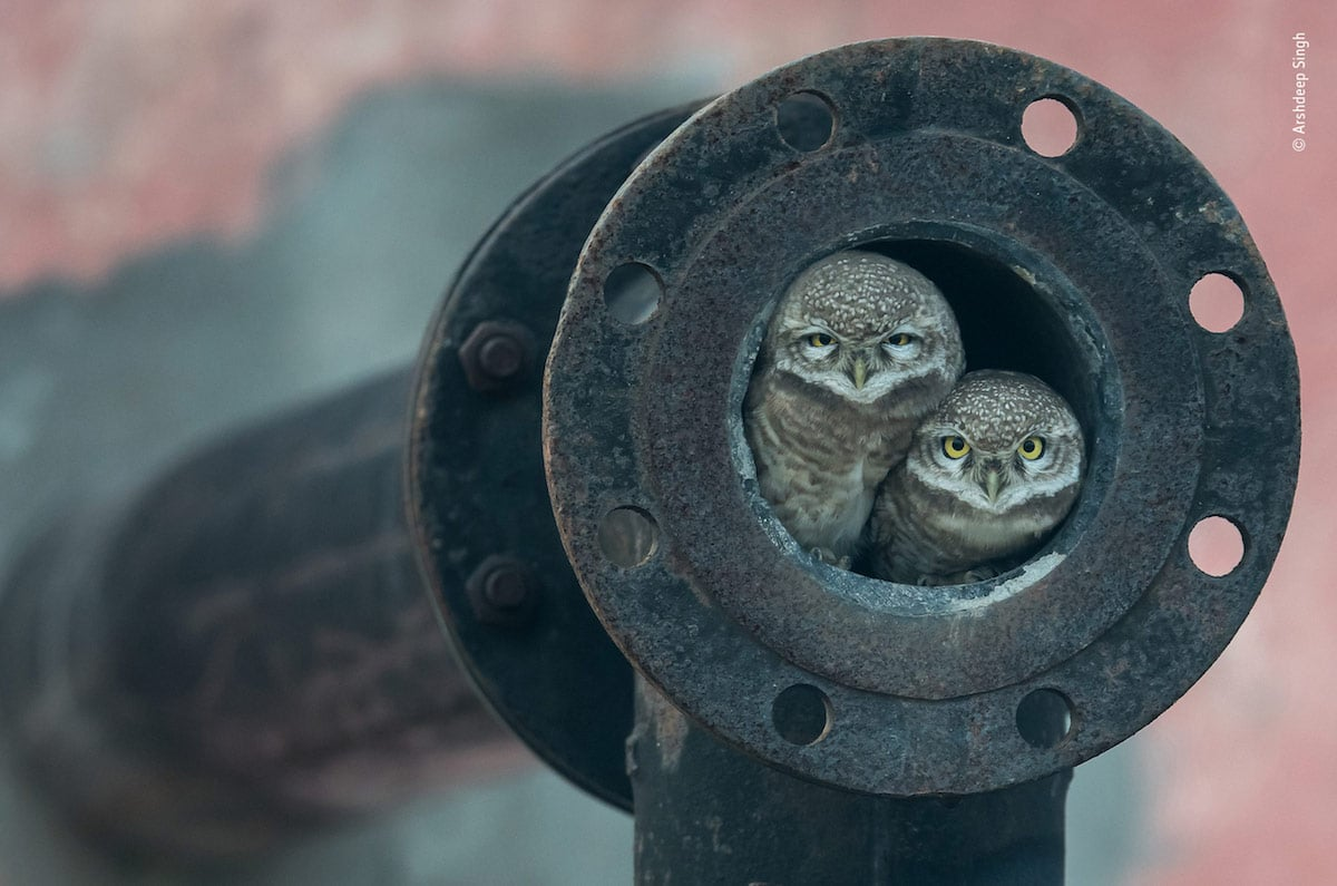 wildlife photography pipe owls