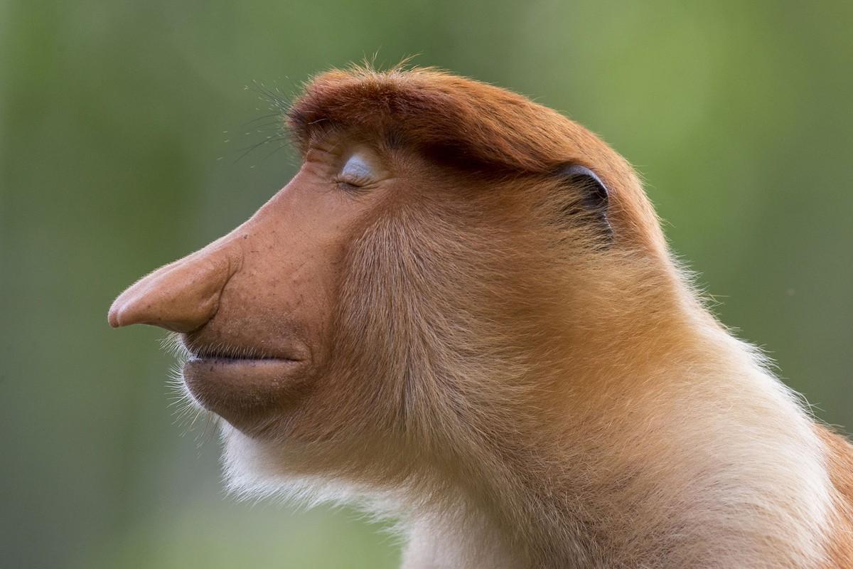 wildlife photography proboscis monkey sanctuary by mogenstrolle