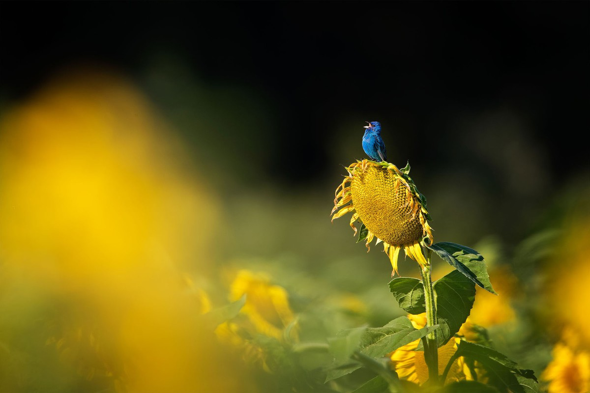 best wildlife photography award winner an indigo bunting