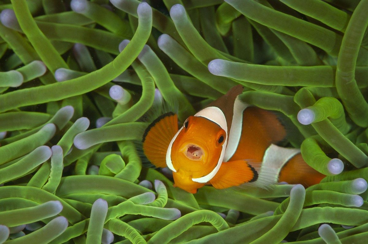 wildlife photography clownfish swimming in a hectic