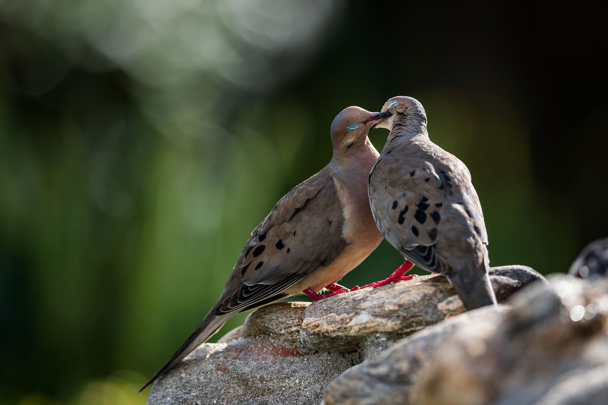 best wildlife photography award winner mourning doves