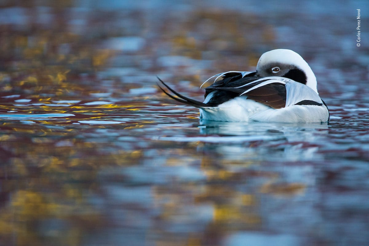 winning wildlife photography duck of dreams