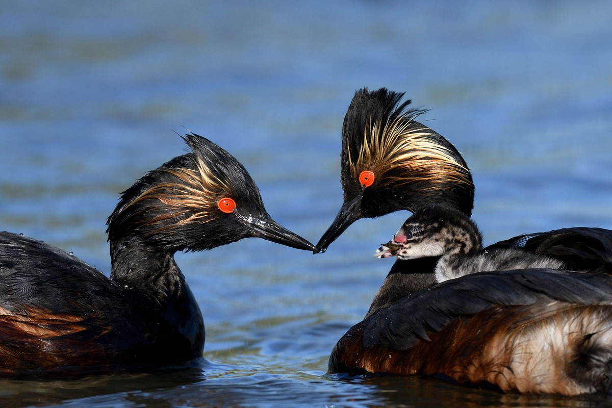 best wildlife photography award winner eared grebes
