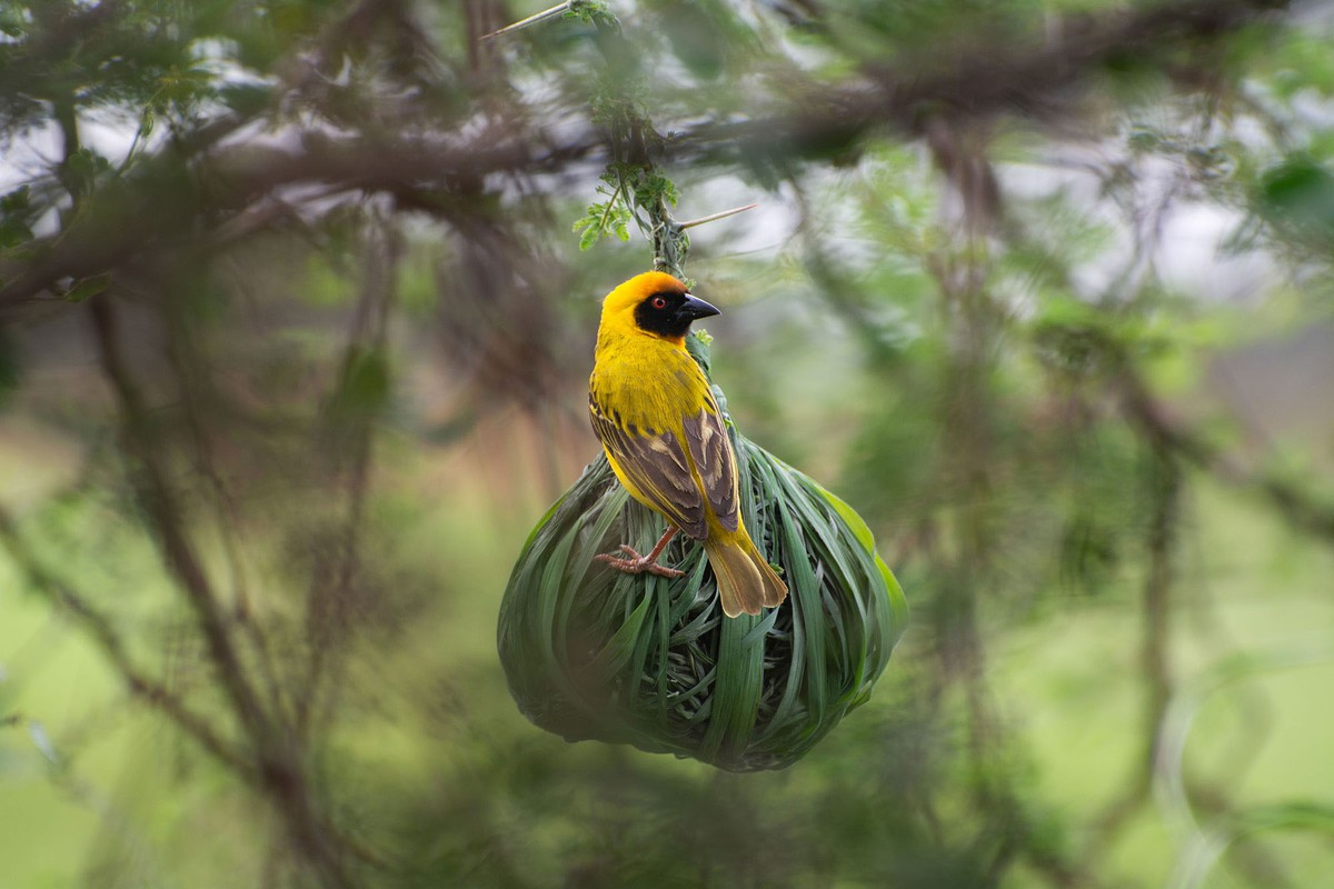 best wildlife photography award winner vitelline masked weaver