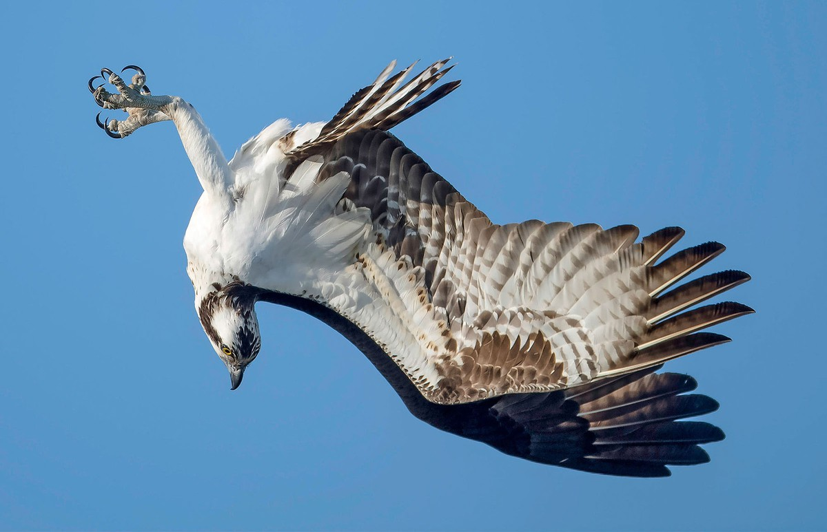 best wildlife photography award winner osprey in flight