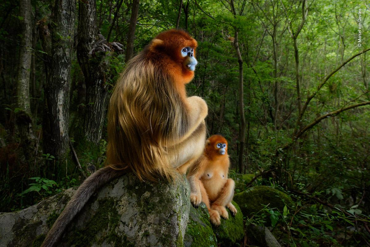 winning wildlife photography golden couple by marselvanoosten