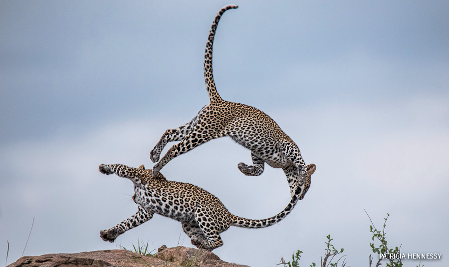 wildlife photography contest leopard cubs playing patrica hennessy