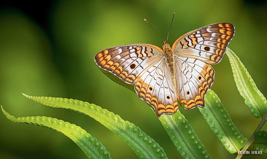 wildlife photography contest peacock butterfly by edwin wilk