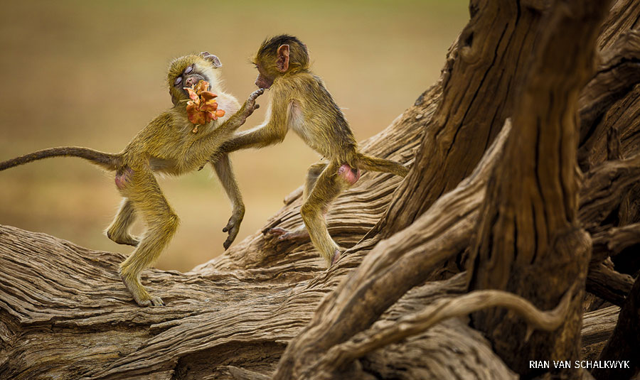wildlife photography contest yellow baboons by rian van schalkwyk