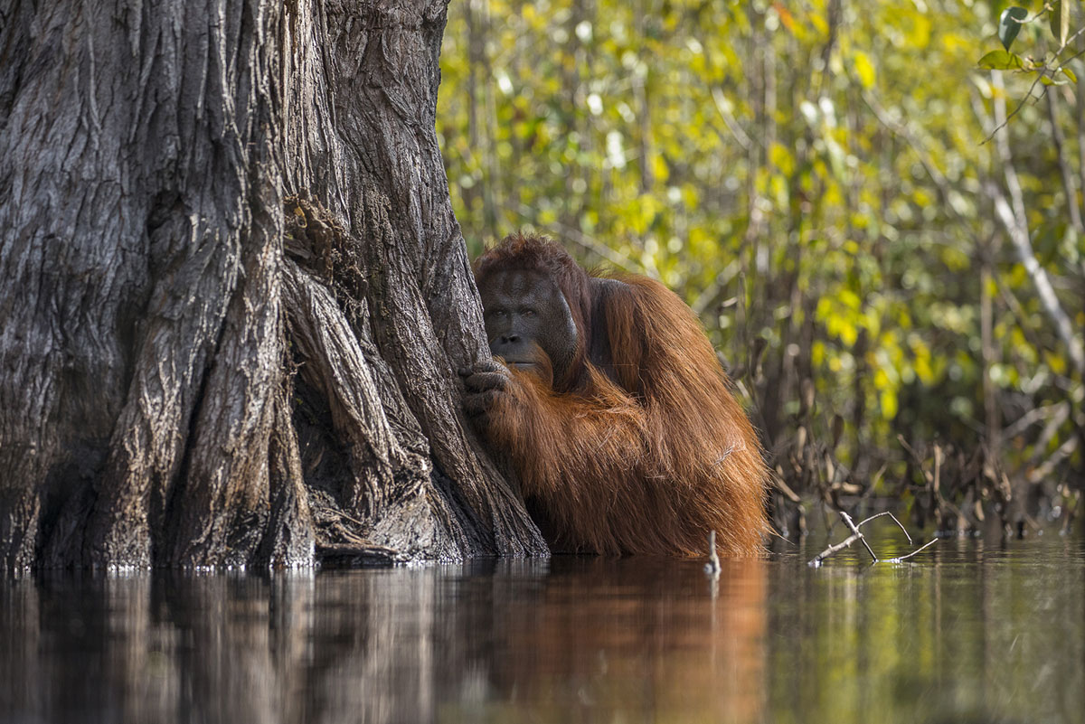 orangutan award winning photography by jayaprakash