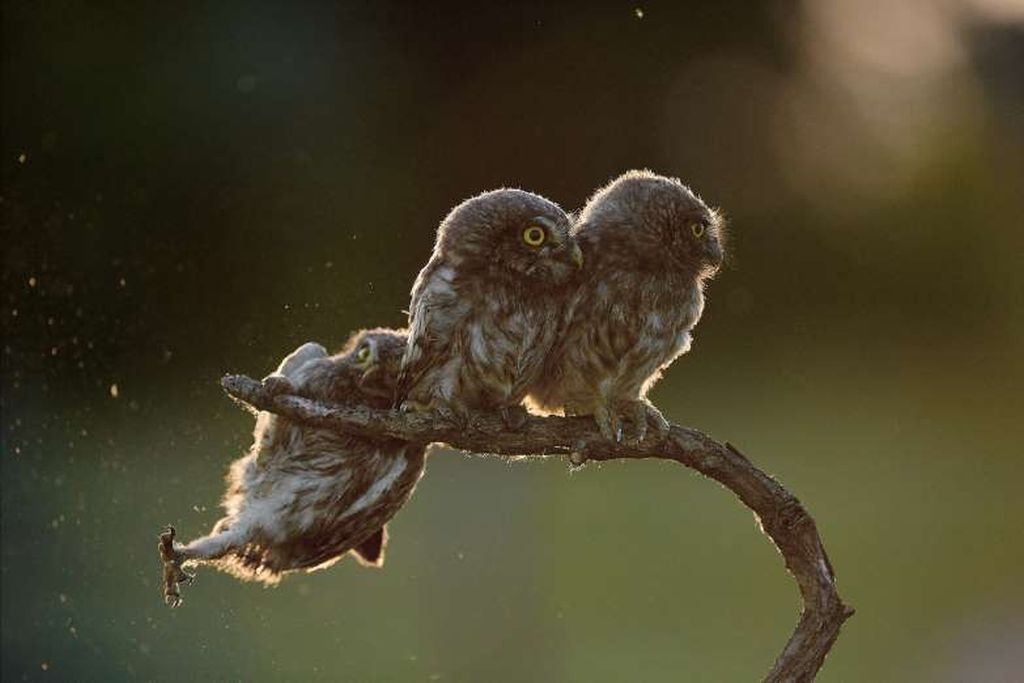 comedy wildlife photographer award by tibor kercz