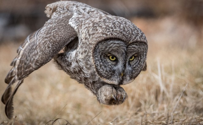 grey owl award winning photography by harry collins