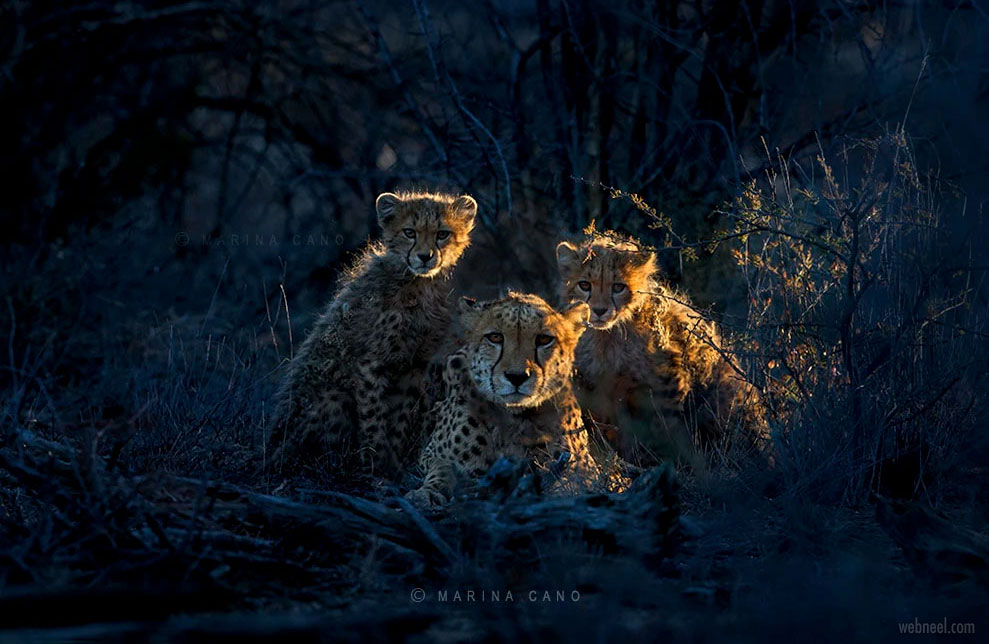 wildlife photography cubs by marina cano