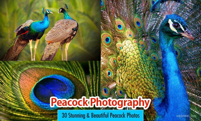 30 Beautiful Peacock Photos and White Peacock Pictures - part 2