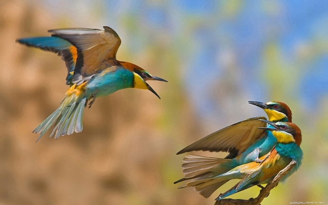 birds playing wallpaper