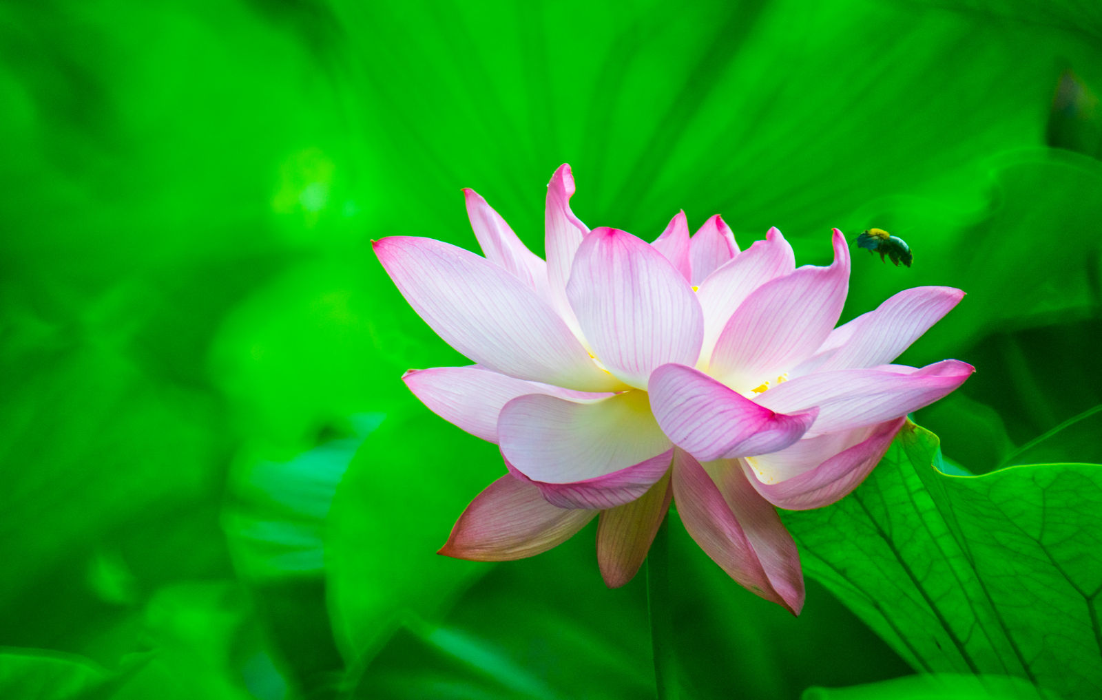 lotus flower wallpaper hd by aotaro