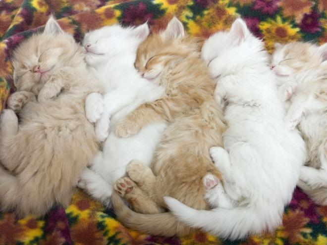 baby cats sleeping wallpaper