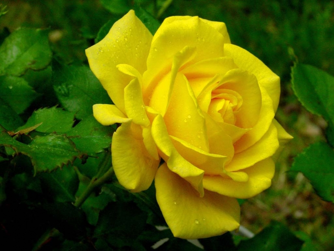 beautiful yellow rose wallpaper