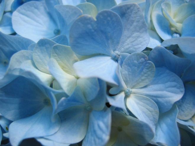 blue hydrangea flower wallpaper