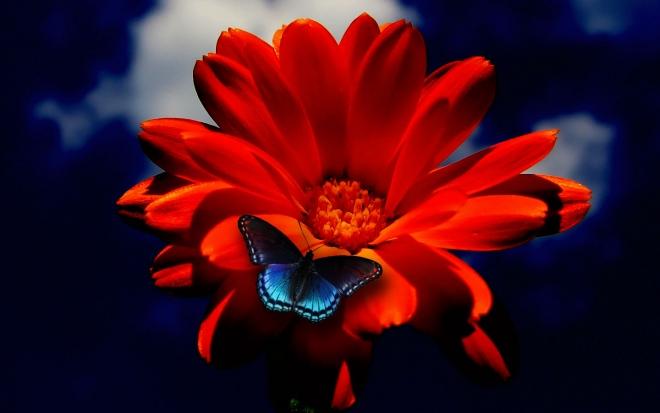 butterfly on orange flower wallpaper