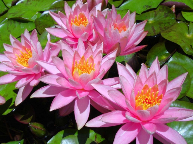colorado water lilies wallpaper