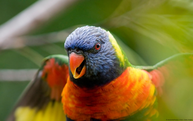 rainbow lorikeet parrot wallpaper