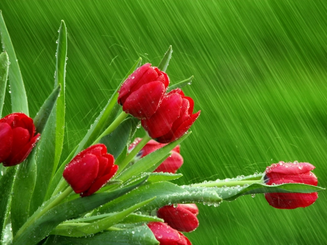 red tulips in the rain wallpaper