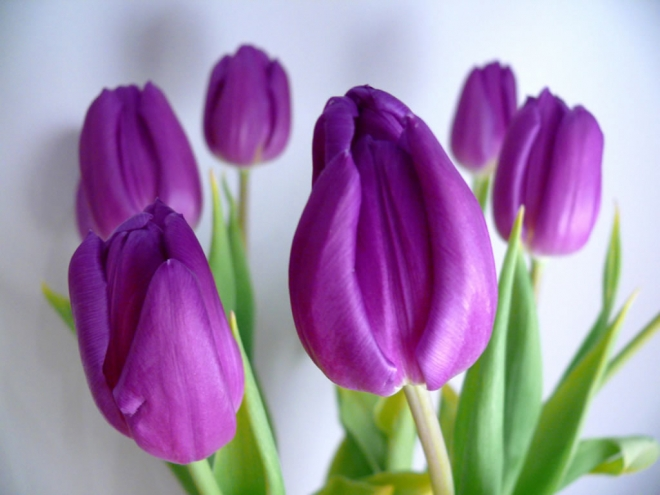violet tulip flower wallpaper