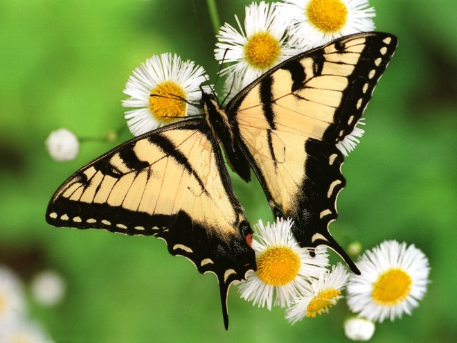 Yellow Black Colored Butterfly Taking Honey From Flowers