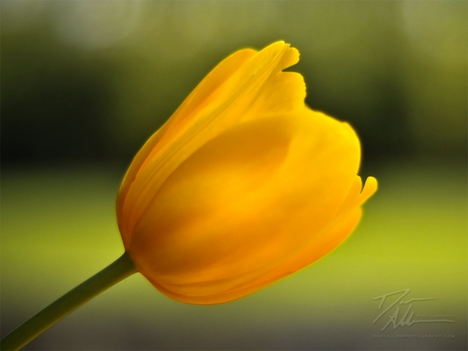 yellow tulip flower wallpaper