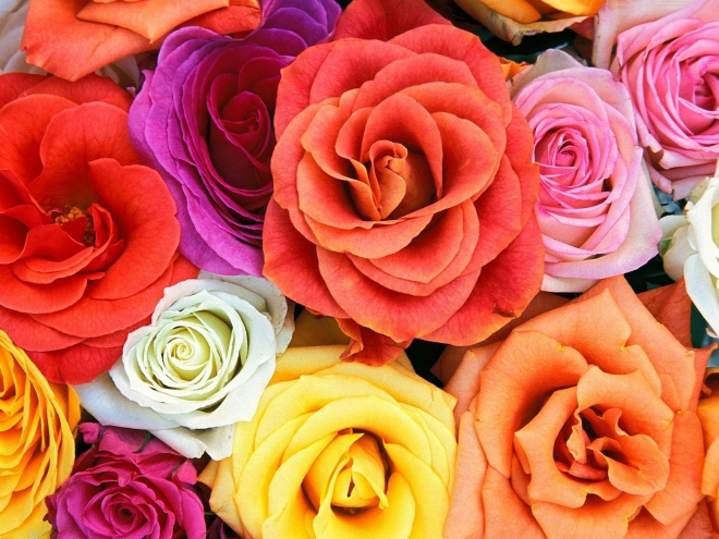 color roses wallpaper