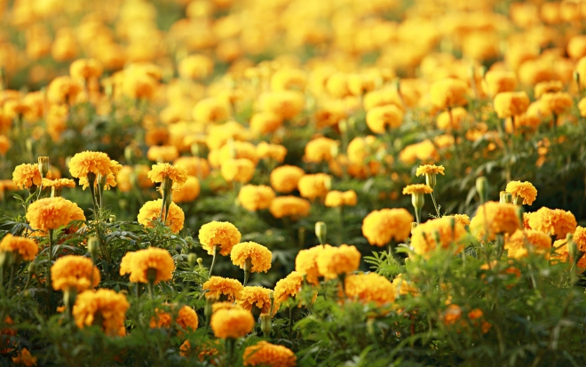 marigolds flower wallpaper
