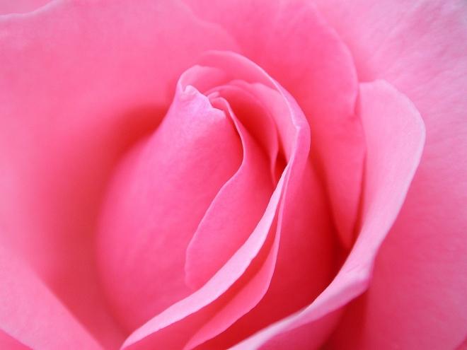 pink rose flower wallpaper