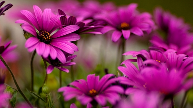 purple daisies flower wallpaper