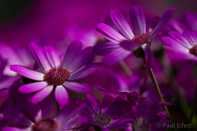 purple wallpaper by paul eifert