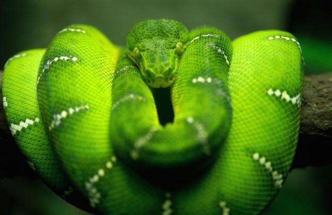 green wallpaper greensnake