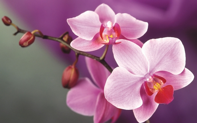 pink wallpaper orchid